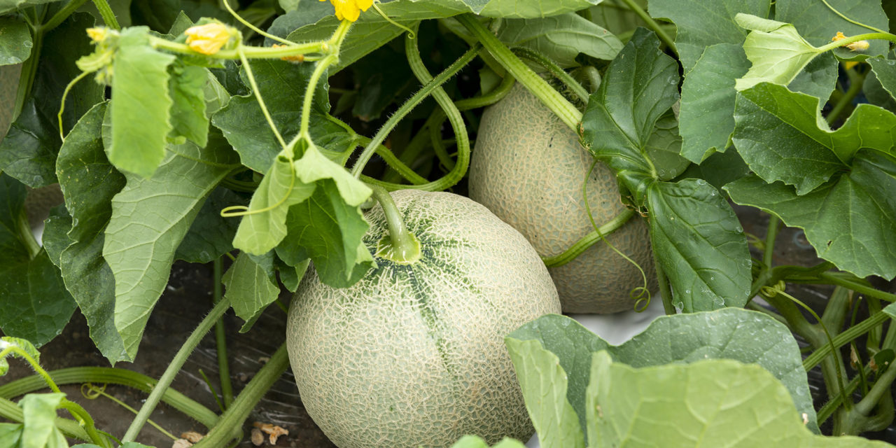 https://www.medinbio.com/wp-content/uploads/2020/12/melon-sans-pesticide-1280x640.jpeg
